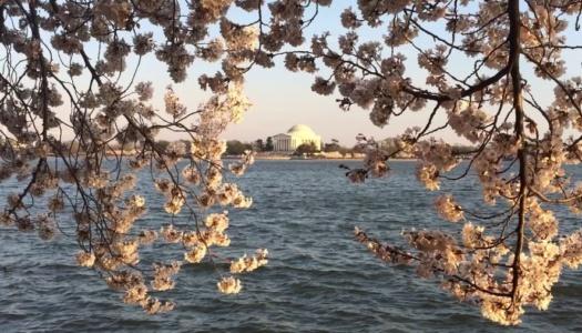 WATCH: Cherry Blossom Cam LIVE