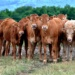 A herd of cows stand closely together.